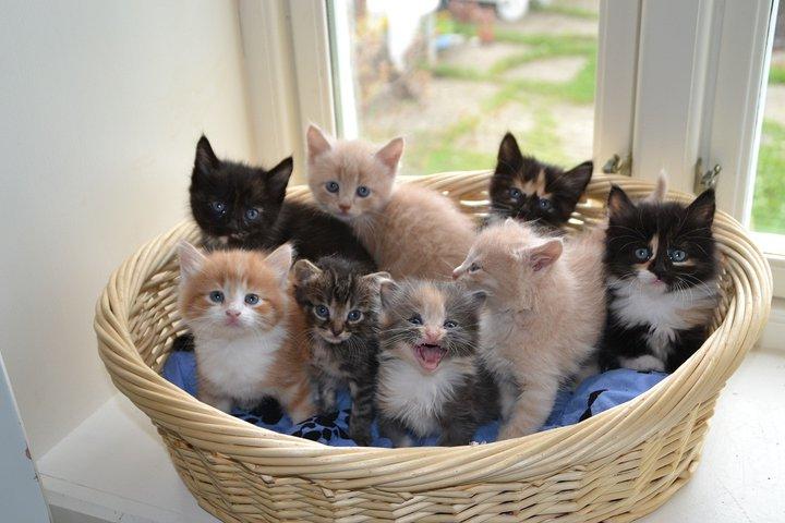 Sterilisering / kastrering av katten